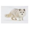北极狐原种