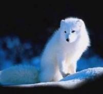 特养小常识:打激素的蓝狐能留种吗?