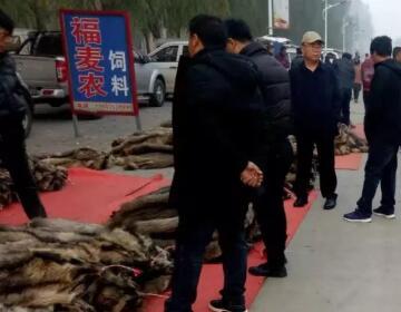 2018.11.3昌黎皮毛市场行情快报