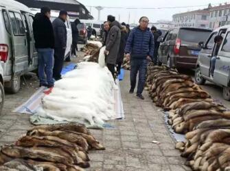 今日尚村皮毛市场貉子皮行情快报