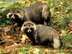 特养知识:狐狸貉子养殖十不喂,点开看看不吃亏