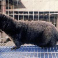 高质量丹麦天鹅绒水貂公皮,货源充足