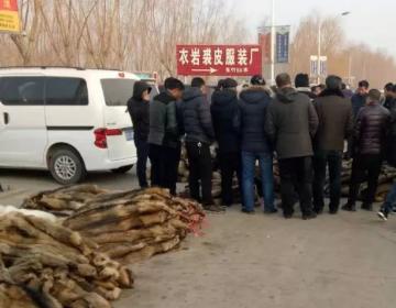 昌黎皮毛市场貉子皮动态2019.2.20