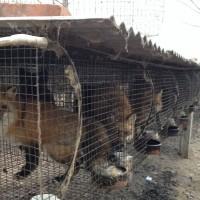 2019狐狸皮(银狐、蓝狐、彩狐、貉子等)新皮大量上市