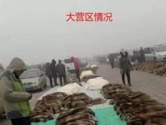 大雾天气大营皮毛市场貉子熟板最新动态2019.12.10