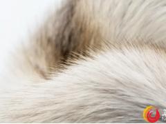 世家皮草市场观察|下一年度狐狸皮产量将呈下降趋势