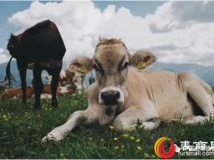 埃塞俄比亚牲畜养殖业为皮革行业提供了巨大发展
