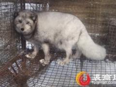 诸城地区狐狸价格行情变化2020.10.27