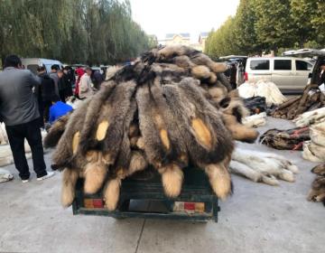 昌黎皮毛市场行情2020.11.1