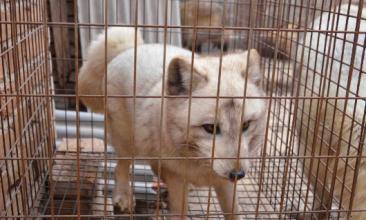 山东蓬莱地区狐狸、水貂价格行情2020.11.15