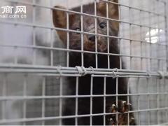 国际毛皮协会:2000万头水貂或将接种新冠疫苗