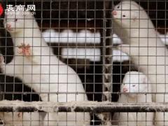 潍坊(安丘、青州、寒亭、昌邑、昌乐、寿光)激素水貂打皮情况